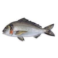 [해외]OMER Gilthead Fish Exposure