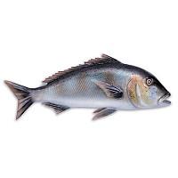 [해외]OMER Dentex Fish Exposure
