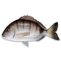[해외]OMER Seabream Fish Exposure