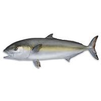 [해외]OMER Amberjack Fish Exposure
